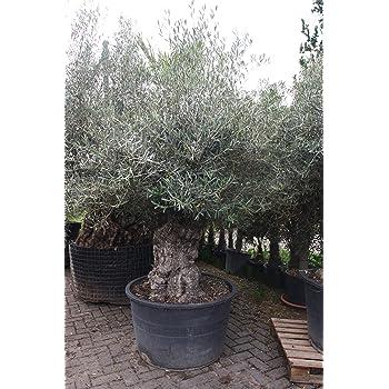 Olivenbaum Olea Europea knorriger Stamm WINTERHART H/öhe ca 3 m mit eleganter Holzschale