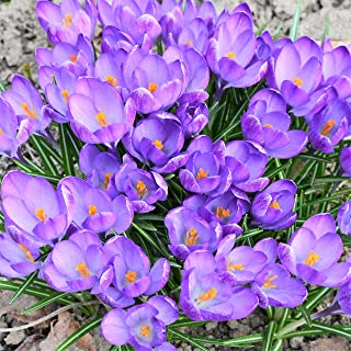 organic saffron bulbs