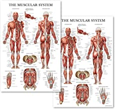 Set of Two Muscular System Anatomical Posters - Laminated - Muscle Anatomy Charts - 2 Poster Set (18 x 27)