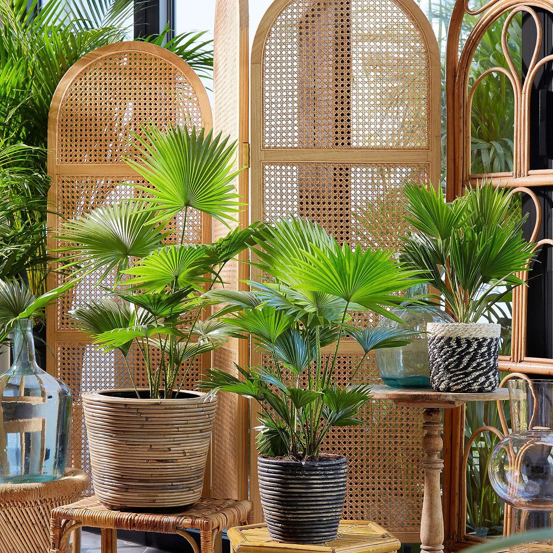 Windmill Palm Livistona rotundifolia Tropical Indoor Farn House Plant Pot /Ø 12cm Height 35-40cm