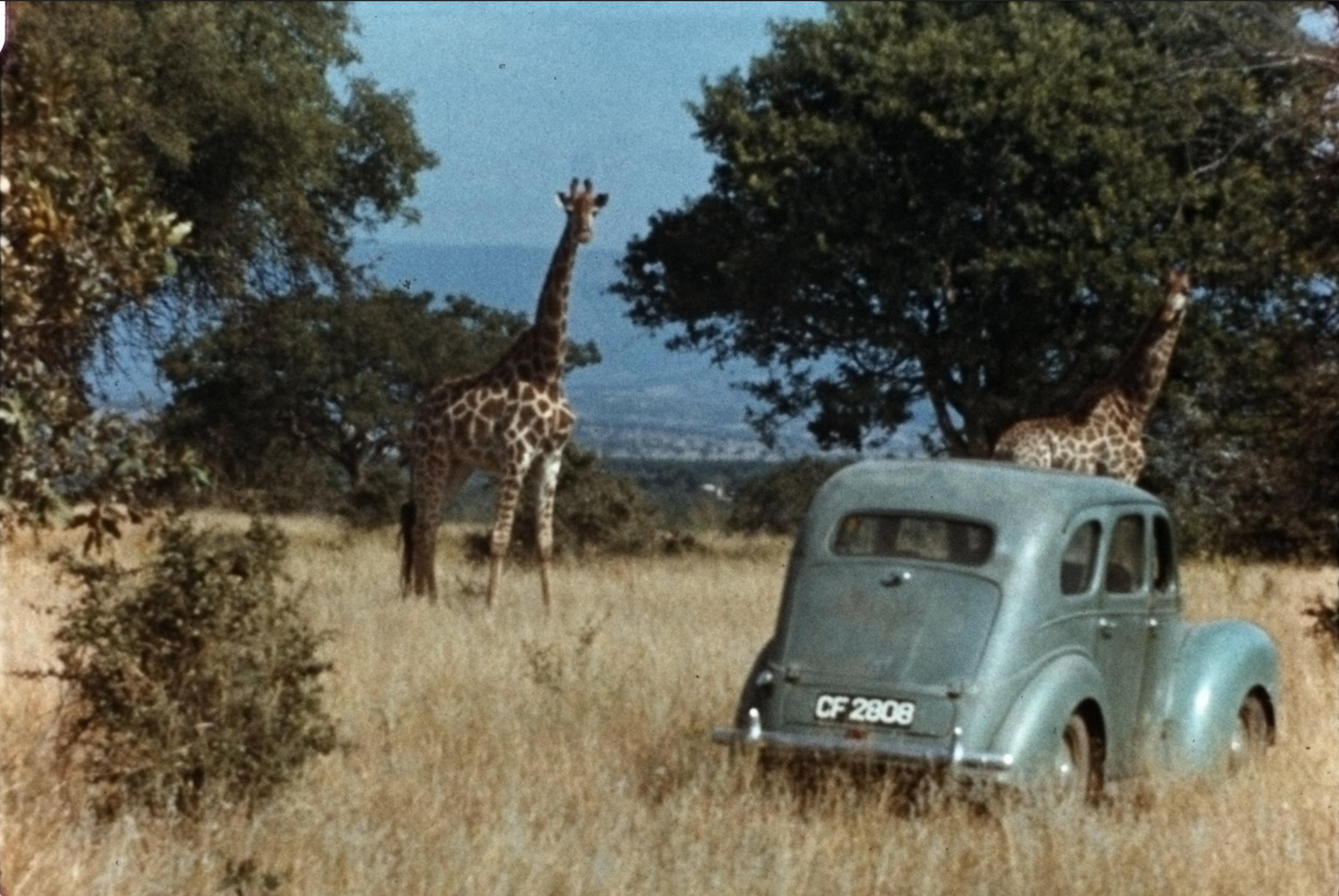 Dating Woman Giraffe)