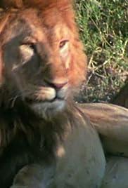 Lion Vs. African Buffalo Poster