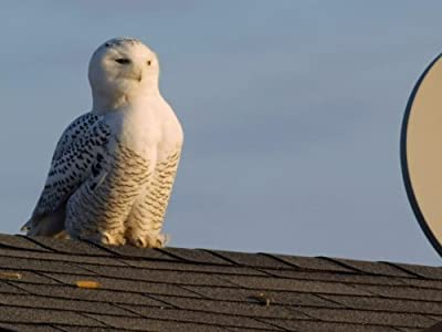 Watchers web movies Magic of the Snowy Owl by none [Full]