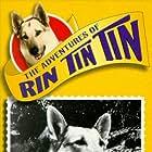 Rin Tin Tin II in The Adventures of Rin Tin Tin (1954)