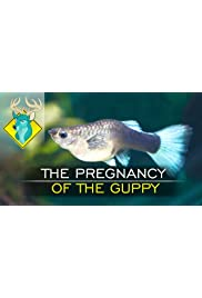 The Pregnancy of the Guppy