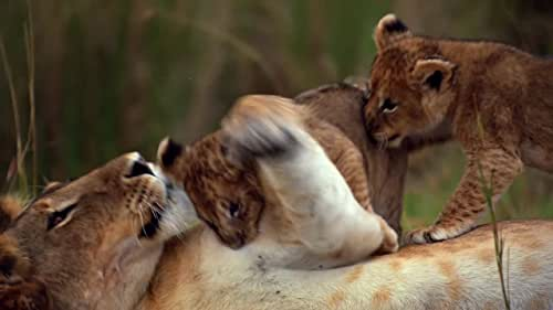 A nature documentary centered on two cat families and how they teach their cubs the ways of the wild.