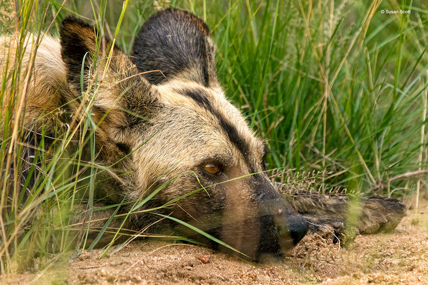 Rescue of a Snared African Wild Dog (2013)