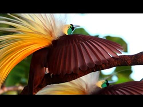 National Geographic Winged Seduction: Birds of Paradise