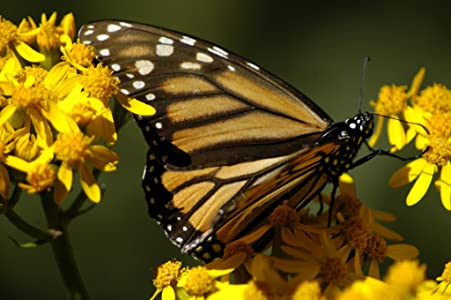 The Incredible Journey of the Butterflies by none