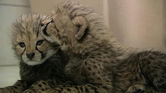 Hollywood filmer 2018 gratis nedlasting hd The Cheetah Diaries: Raising Hope  [480x320] [Bluray]