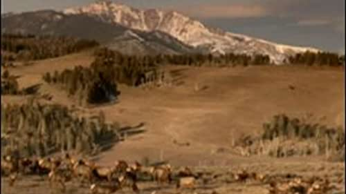 Yellowstone: Battle For Life (Summer Clip 11)