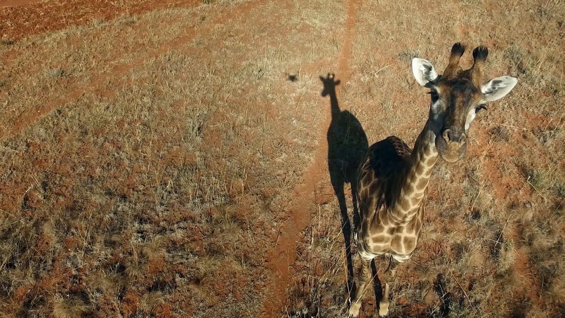 Dating Woman Giraffe.)