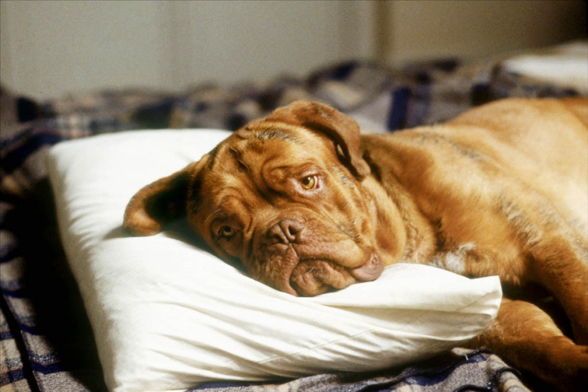 What is in the movie Hooch and Turner the breed of a dog