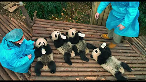 In the mountains of Sichuan, China, a researcher forms a bond with Qian Qian, a panda who is about to experience nature for the first time.
