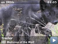 """Gray wolf Poster 24/""""x 16/"""" HD"""