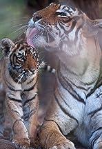Tiger's Revenge
