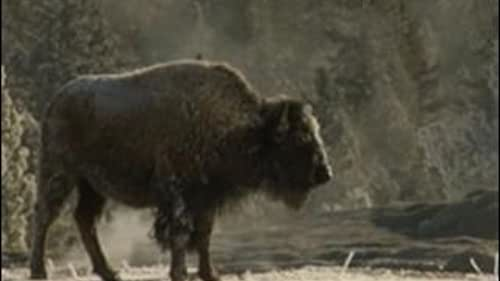 Yellowstone: Battle For Life (Winter Clip 11)