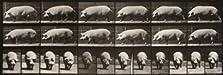 Pig Walking (1887)