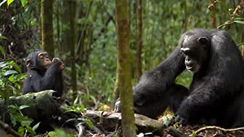 A nature documentary centered on a family of chimps living in the Ivory Coast and Ugandan rain forests.