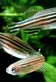 Zebrafish: Practically People - Transforming the Study of Disease Poster
