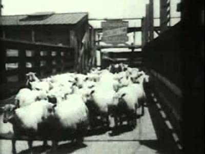 Movies mpeg download Sheep Run, Chicago Stockyards USA [360p]