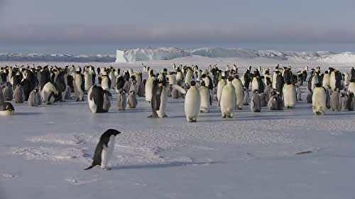Disneynature's all-new feature film 'Penguins' is a coming-of-age story about an Adélie penguin named Steve who joins millions of fellow males in the icy Antarctic spring on a quest to build a suitable nest, find a life partner and start a family.  None of it comes easily for him, especially considering he's targeted by everything from killer whales to leopard seals, who unapologetically threaten his happily ever after.
