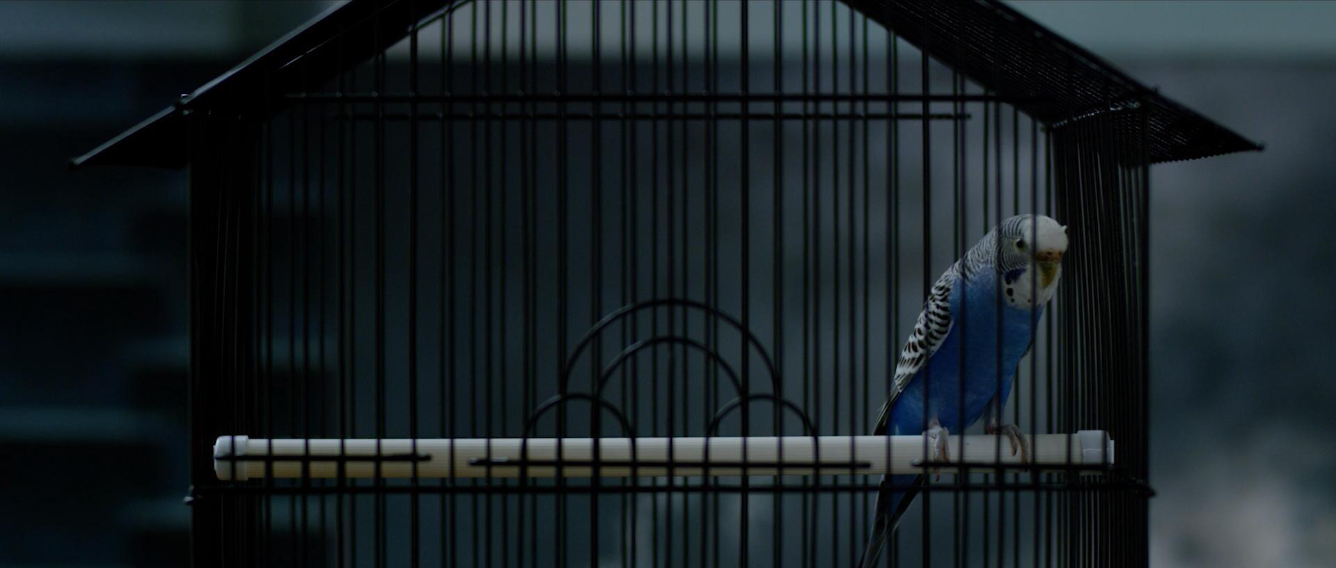 A caged blue bird