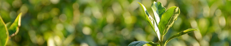Jade Leaf Matcha header