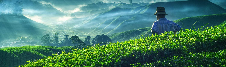 Tulsi Holy Basil Organic Tea Sweet Green Delicacy Loose Leaf Herbal Thulasi or Tulasi 200g