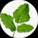 Boswellia serrata resin Extract