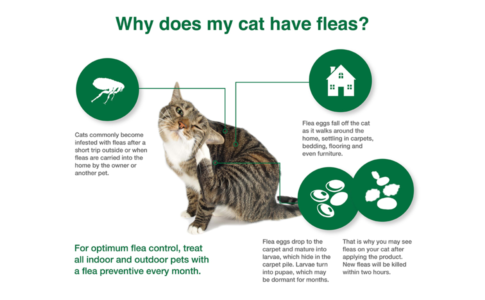 cat flea lifecycle