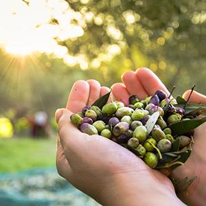 LIVS Olive Oil in Israel, Golan Heights-Galilee region