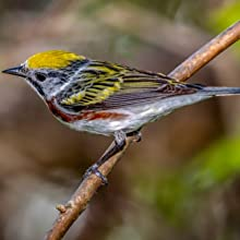Warblers are beautiful, colorful birds that use Wakefield birdhouses to protect their nestlings.