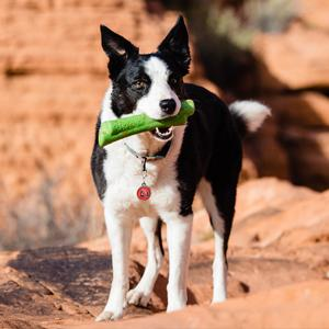 Dog with green bone while hiking