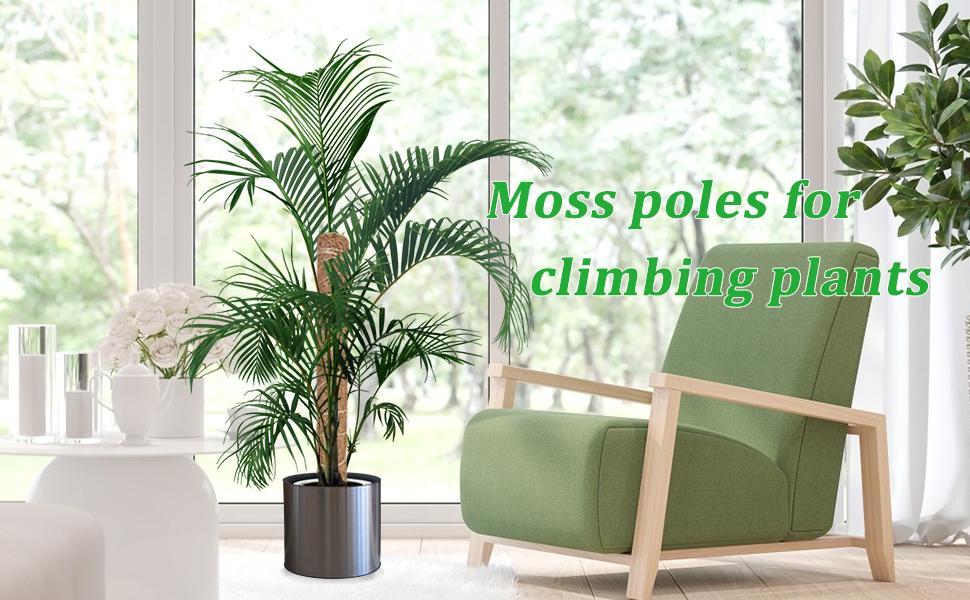 Moss Pole Monsteram
