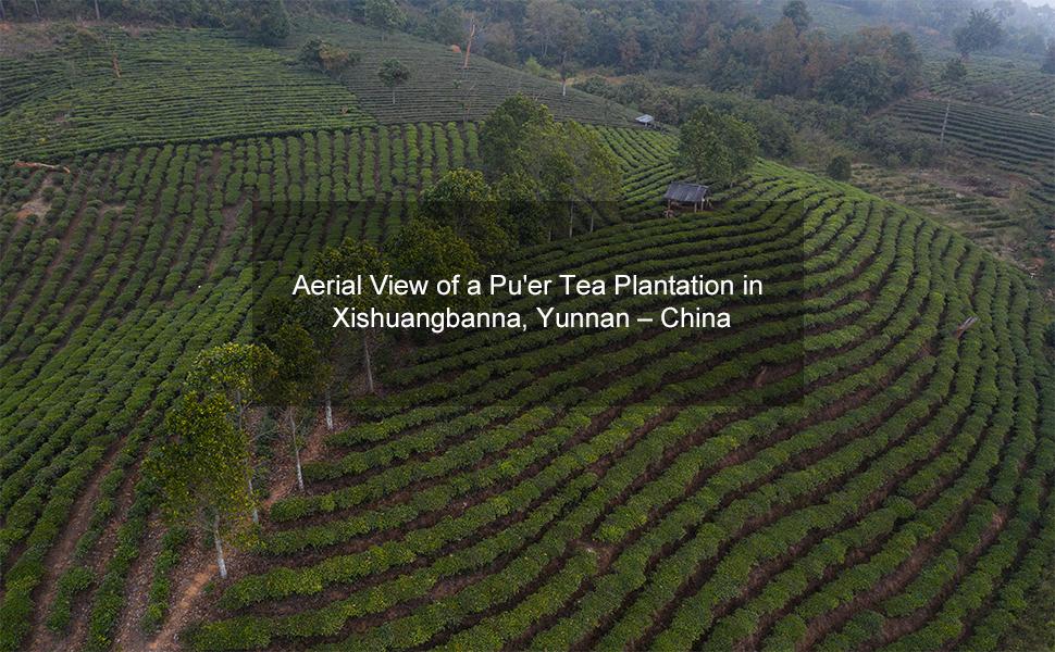 puerh plantation