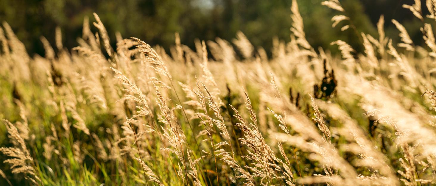 tall grass in golden light