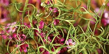 Spanish Moss Macro