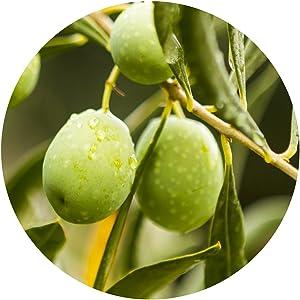 olive seed powder