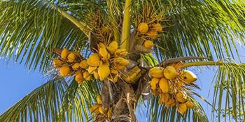 100% Nature Coconut Fiber