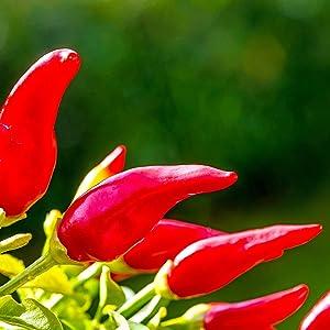 Pepper - Hot - Fresno Chili