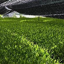 Shade Grown Green Tea