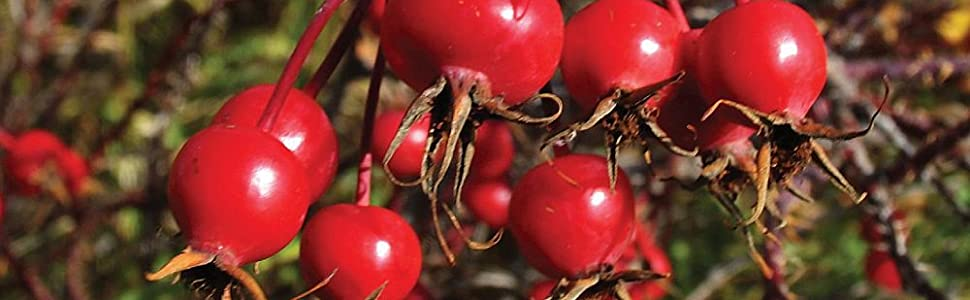Edible Medicinal Plants Canada Wild Rose