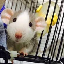 Rat Cage accessories