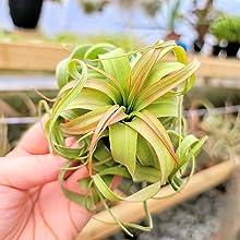 Streptophylla Hybrid Blushing