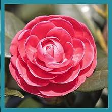 fleur de Tsubaki