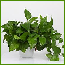 Natural irregular growth of your plant