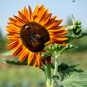 The orange-red head of the evening sun sunflower in full bloom, with busy bees in the center.