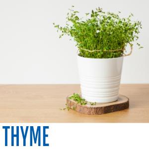 White planter with fresh thyme