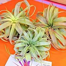 Streptophylla Hybrid Packaging